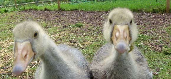 The Hatch, Worcestershire_ducklings