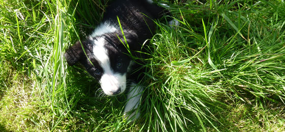 Puppy-sheepdog-at-Brockloch