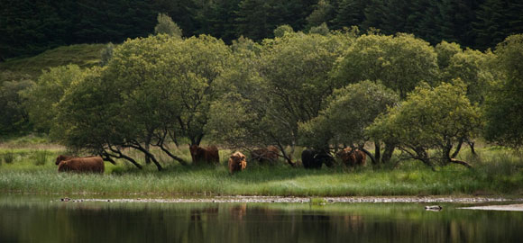 Highland-cattle-at-the-lake
